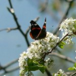faraflla su fiori (Orto botanico Pania di Corfino)
