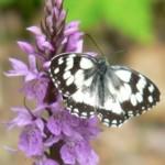 farfalla su orchidea 2