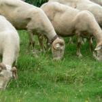 le pecore Garfagnine Bianche del'azienda Cerasa