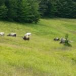 bovini di razza Garfagnina al pascolo