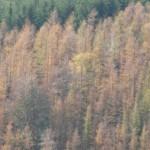 bosco di larici