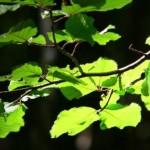 foglie di faggio: particolare